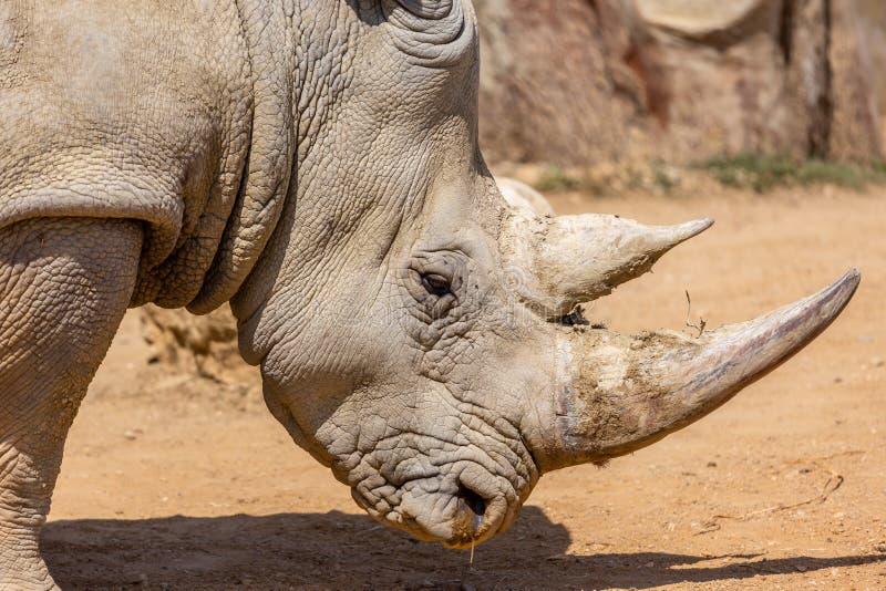 Fim branco do sul do rinoceronte acima fotos de stock