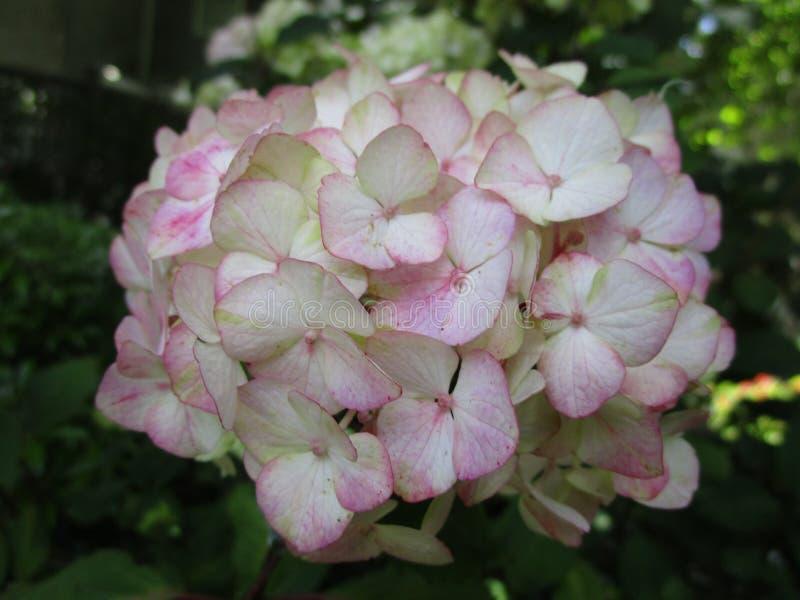 Fim branco e cor-de-rosa doce da flor da hortênsia acima em um jardim, outono 2018 fotografia de stock royalty free