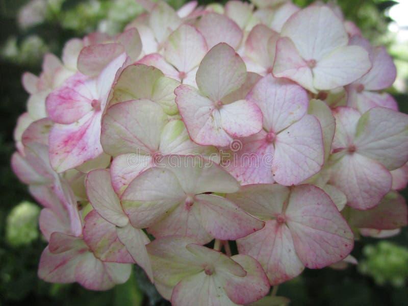 Fim branco e cor-de-rosa doce da flor da hortênsia acima em um jardim, outono 2018 fotos de stock