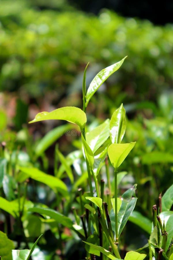 Fim cingalês da folha de chá acima fotografia de stock