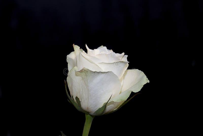 Download Fim Consideravelmente Branco Da Rosa Acima Na Luz Do Sol Imagem de Stock - Imagem de consideravelmente, agradável: 107525605