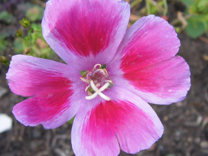 Fim cor-de-rosa da flor acima foto de stock