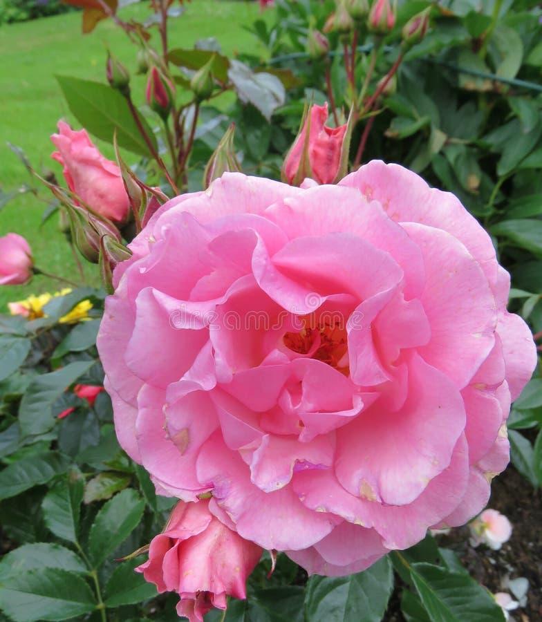 Fim cor-de-rosa da flor acima com botões foto de stock royalty free