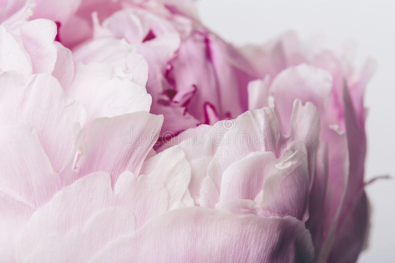 Fim cor-de-rosa da flor acima com pétalas lisas em um fundo branco foto de stock royalty free