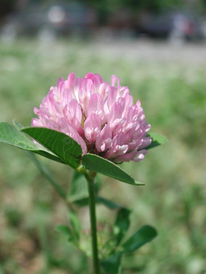 Fim cor-de-rosa da flor do pratense do Trifolium acima foto de stock