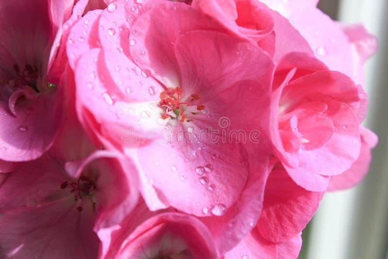 Fim cor-de-rosa do gerânio das flores acima Gerânio do rosa da casa foto de stock