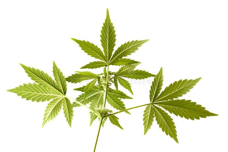 Fim crescente da flor da marijuana acima fotos de stock royalty free