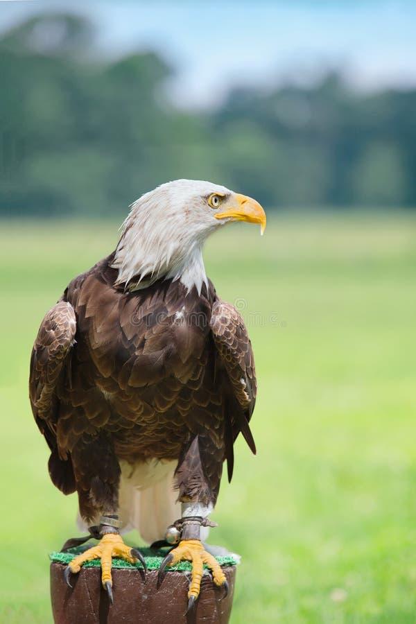 Fim da cabeça da águia americana acima do retrato imagem de stock