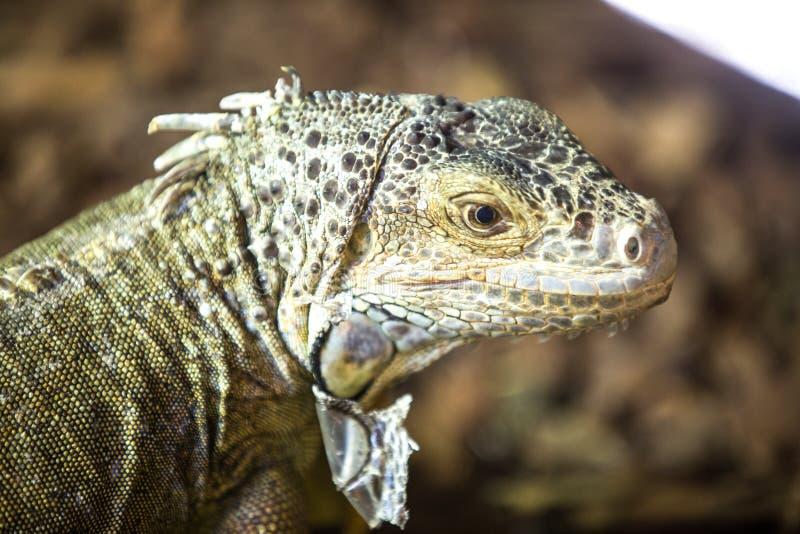 Fim da cabeça da iguana acima fotografia de stock