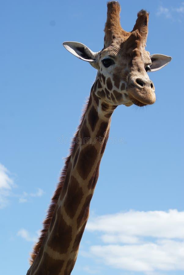 Fim da cabeça do Giraffe acima foto de stock royalty free