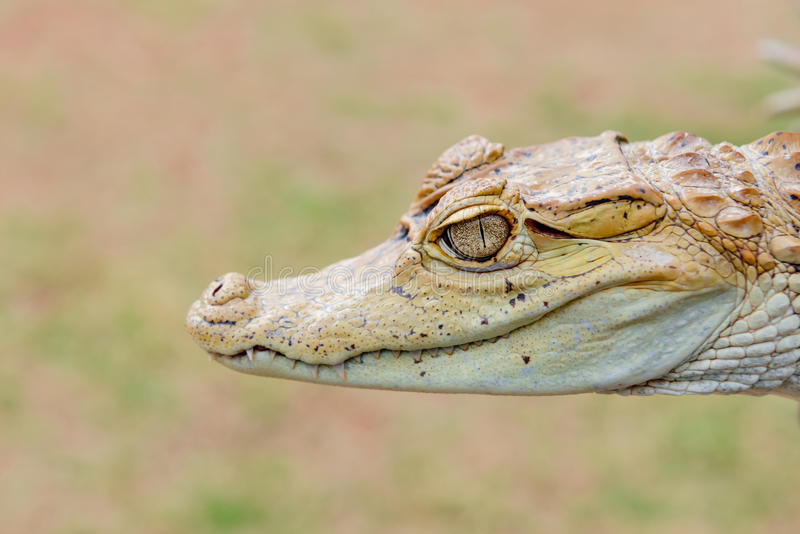 Fim da cabeça do retrato da cara do jacaré do caimão do jacaré do bebê acima no selvagem fotografia de stock royalty free