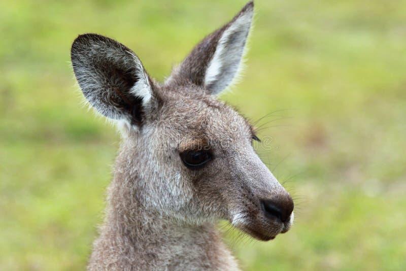 Fim da cara do canguru acima do tiro foto de stock royalty free