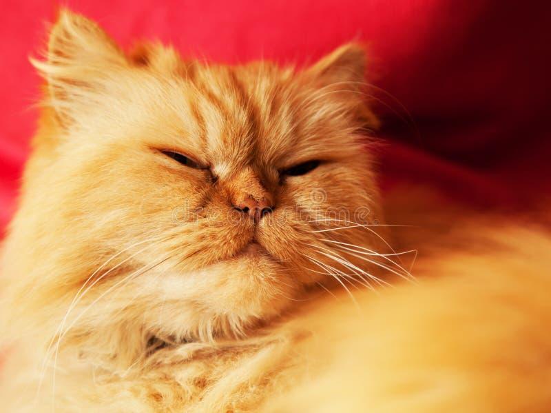 Fim da cara do gato acima do retrato imagem de stock royalty free