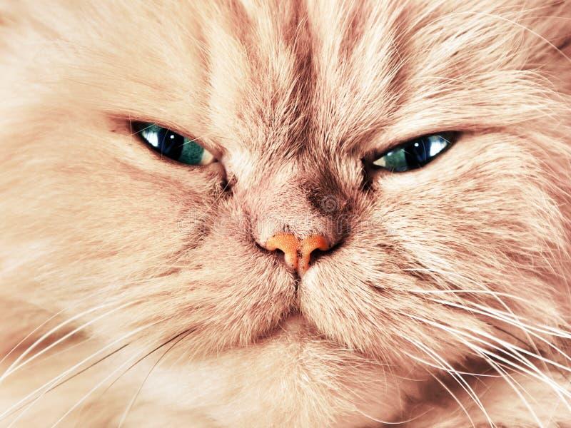 Fim da cara do gato acima do retrato imagens de stock