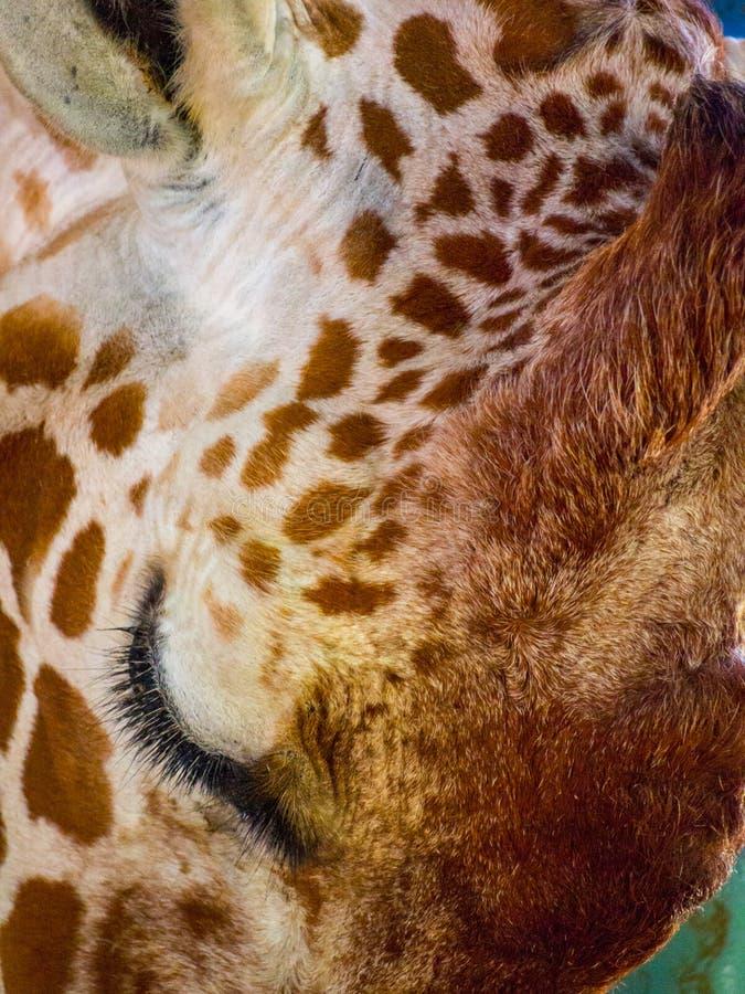 Fim da cara do girafa acima fotos de stock