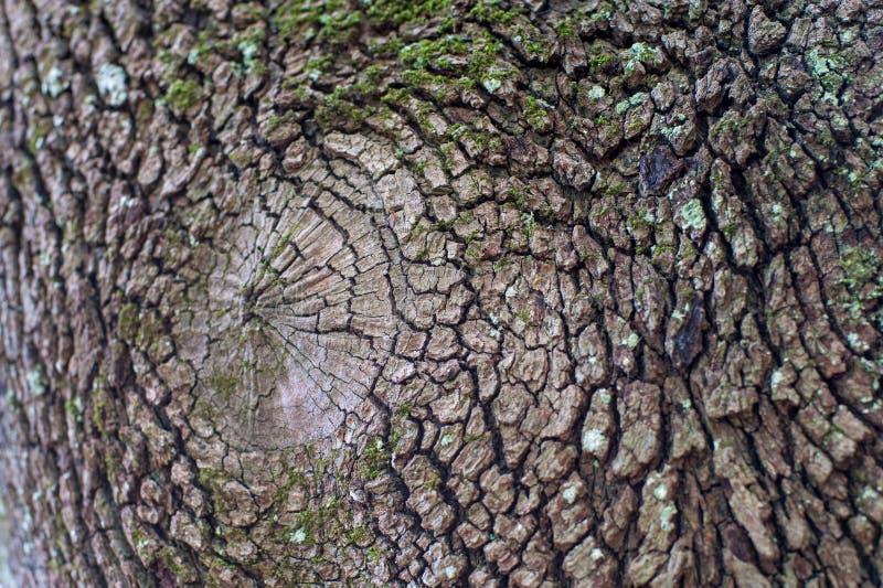 Fim da casca de árvore acima da textura seca e áspera imagem de stock