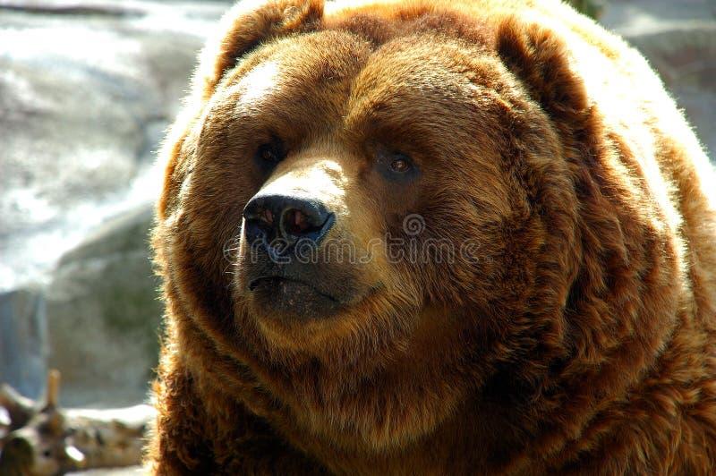 Fim da face do urso de Brown acima imagens de stock