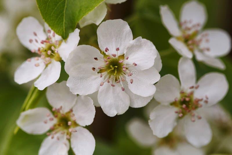 Fim da flor da árvore de pera da flor acima imagem de stock royalty free