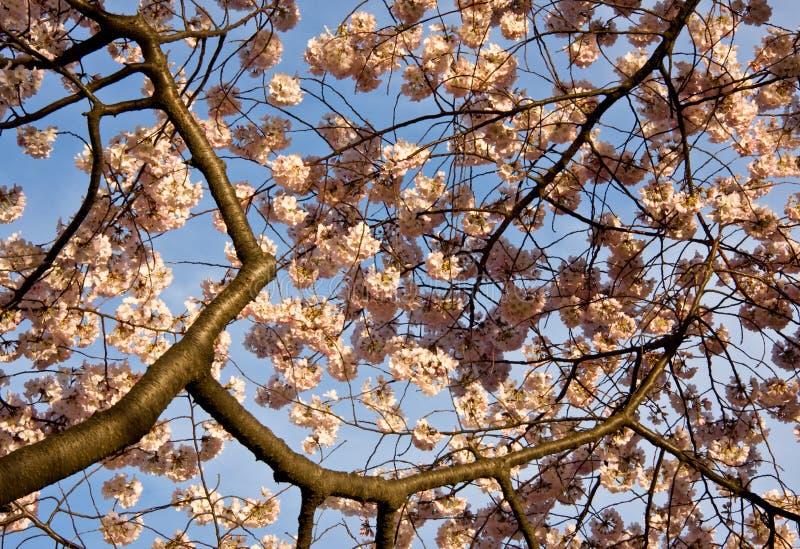 Fim da flor de cereja acima foto de stock