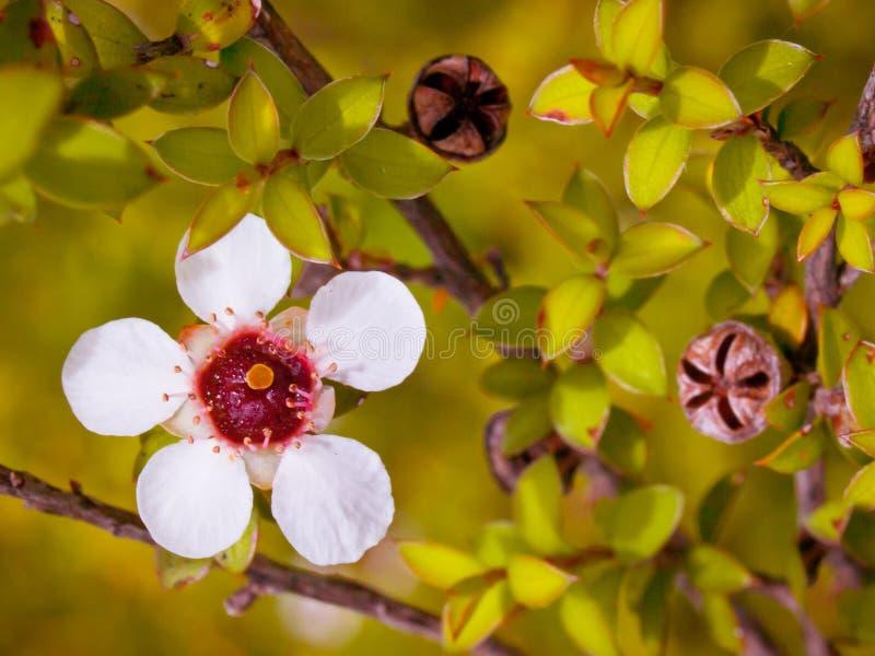Fim da flor de Manuka acima imagens de stock royalty free
