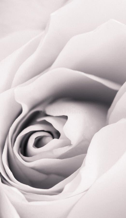 Fim da flor de Rosa acima Monochrome com efeitos do vintage vertical imagens de stock royalty free