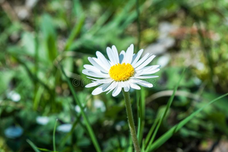 Fim da flor da margarida acima em um dia de mola na natureza fotos de stock