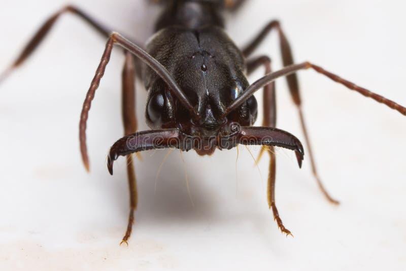 fim da formiga da Prender-maxila acima imagens de stock royalty free
