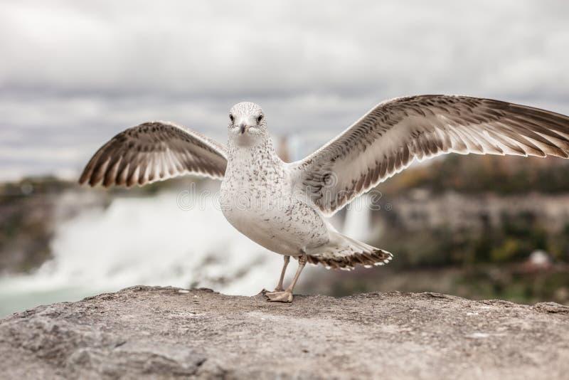 Fim da gaivota de Wiedng acima no fundo de Niagara Falls