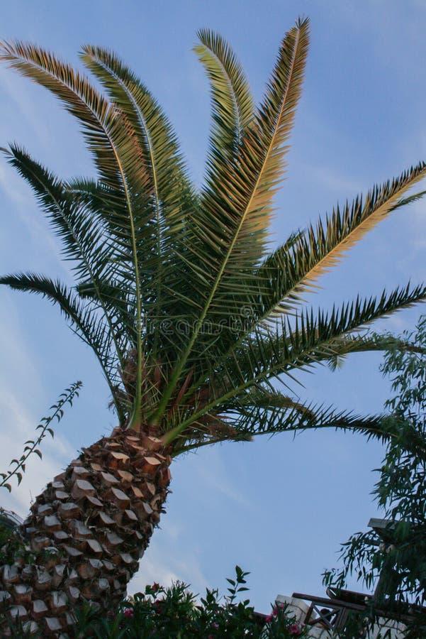 Fim da palmeira acima no fundo do céu azul fotografia de stock royalty free