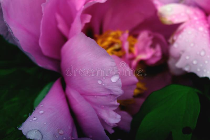 Fim da peônia da árvore acima de similar Botânica cor-de-rosa roxa das flores em um fundo das folhas verdes foto de stock royalty free