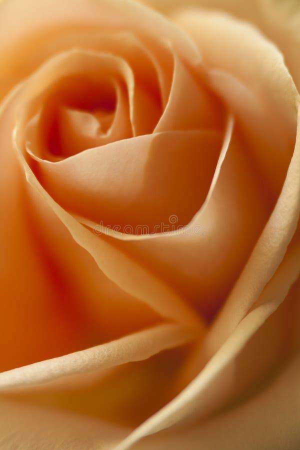 Fim da rosa da cor do pêssego acima fotos de stock royalty free