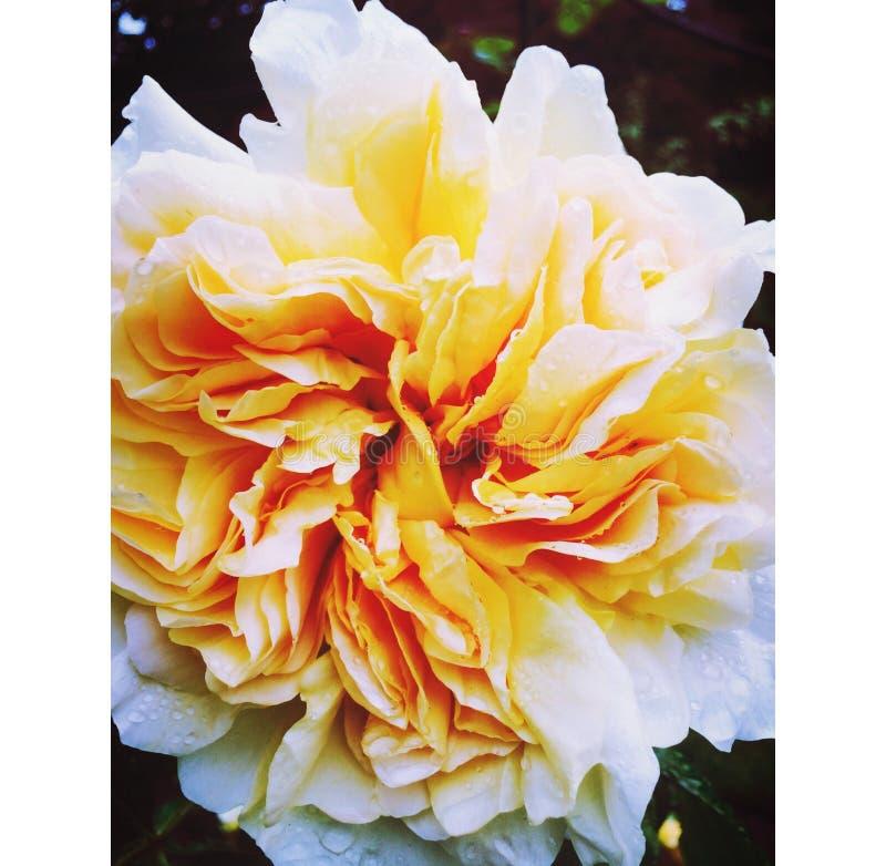 Fim da rosa da laranja acima imagem de stock royalty free