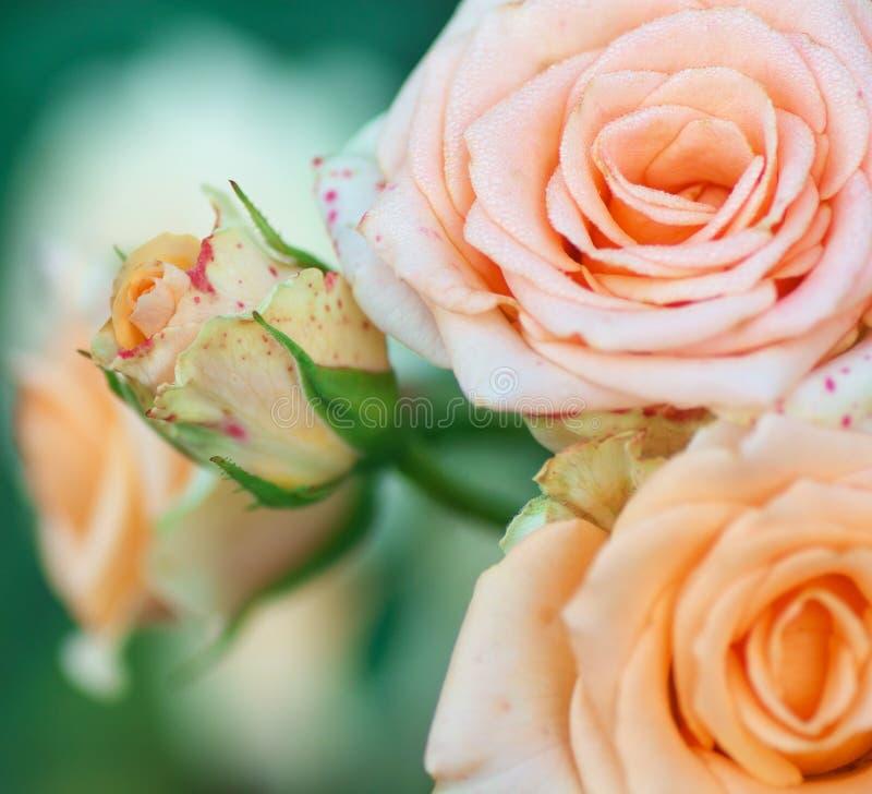Fim da rosa das flores acima com borrão imagens de stock royalty free