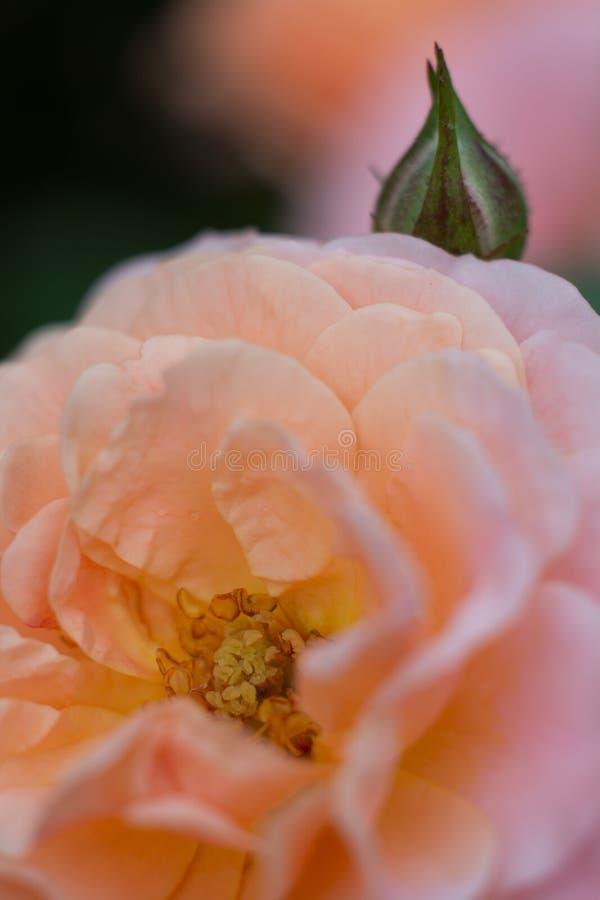 Fim da rosa do rosa do pêssego acima com botão imagens de stock