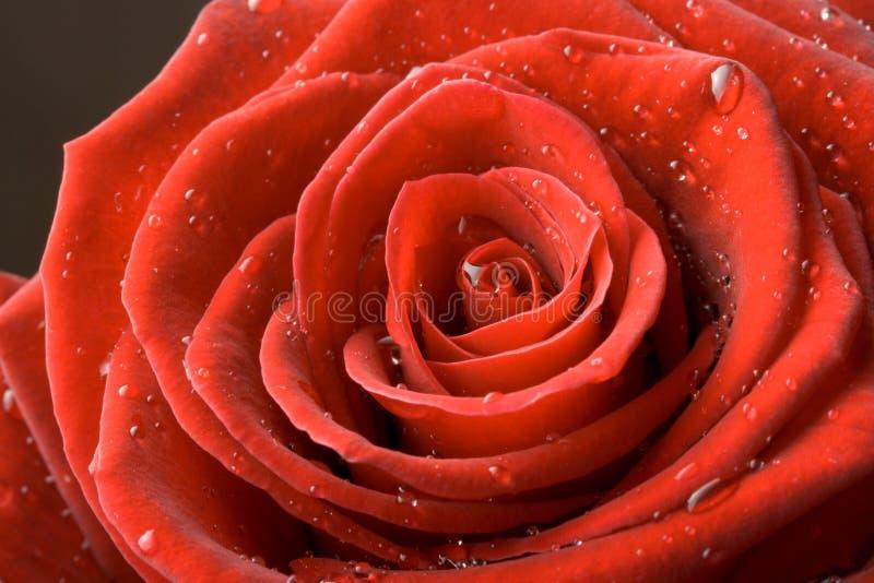 Fim da rosa do vermelho acima foto de stock royalty free