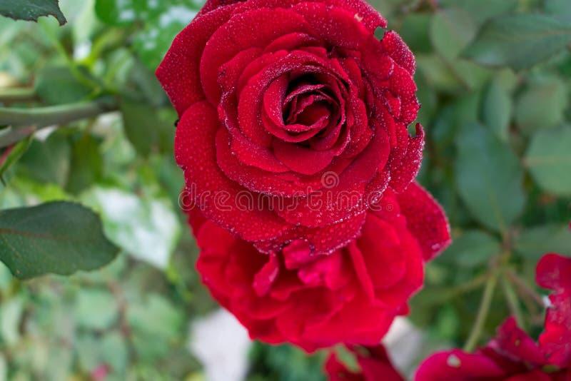 Fim da rosa do vermelho acima Rosa vermelha bonita em um jardim gotas da água e das folhas fotografia de stock royalty free