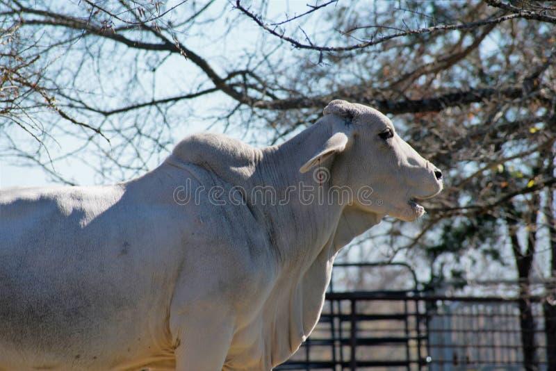 Fim da vaca de Brahma acima imagens de stock royalty free