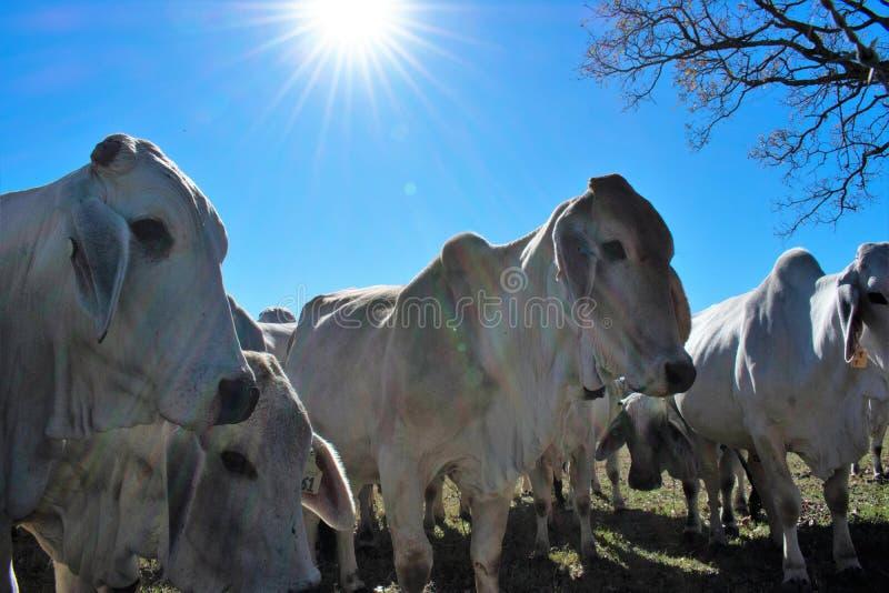 Fim da vaca de Brahma acima foto de stock