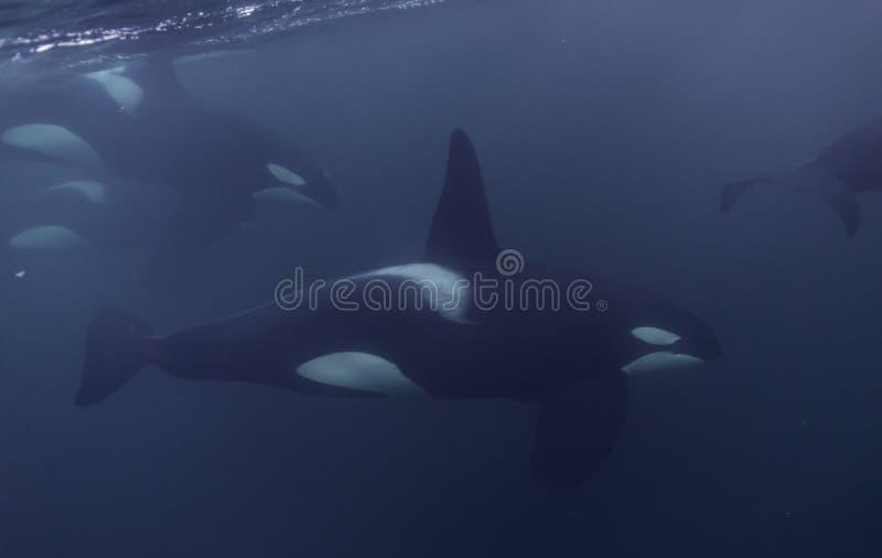 Fim da vagem da orca acima foto de stock royalty free