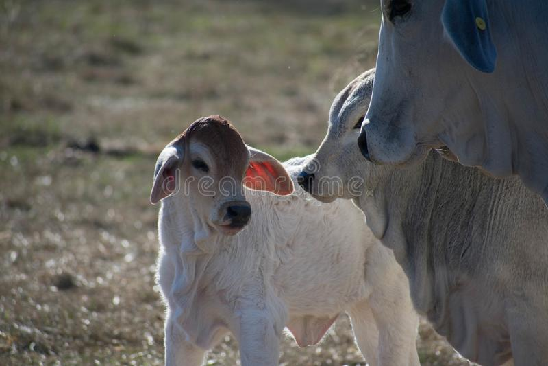 Fim da vitela de Brahma acima fotos de stock
