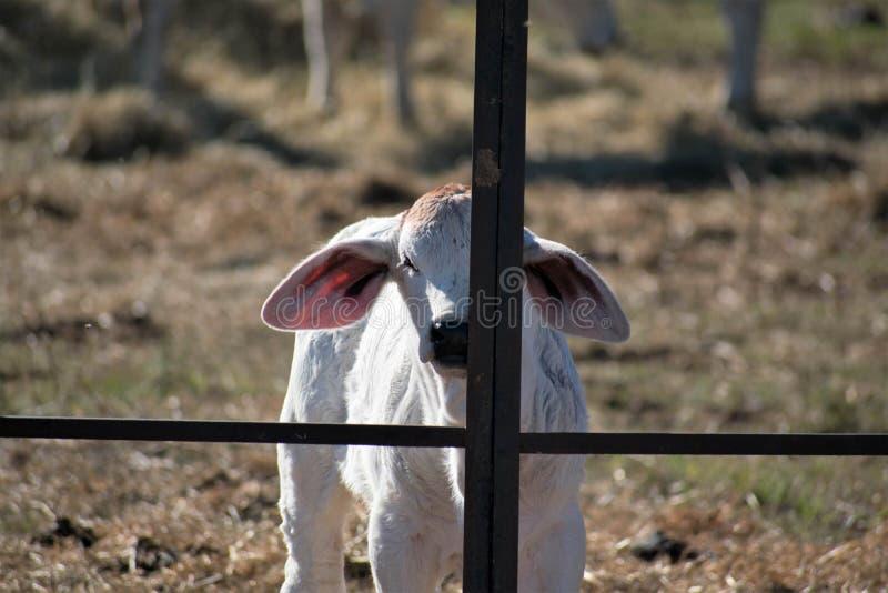 Fim da vitela de Brahma acima imagens de stock