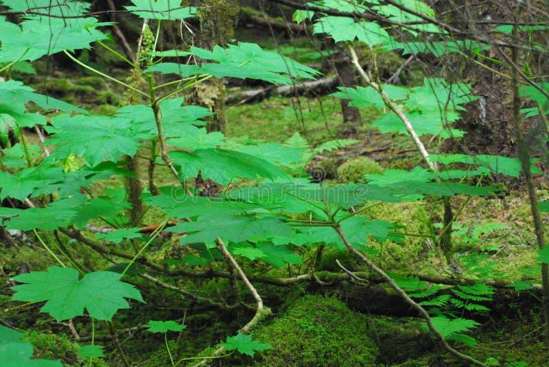 Fim de Alaska acima das folhas, do musgo e das árvores bonitos da floresta úmida foto de stock