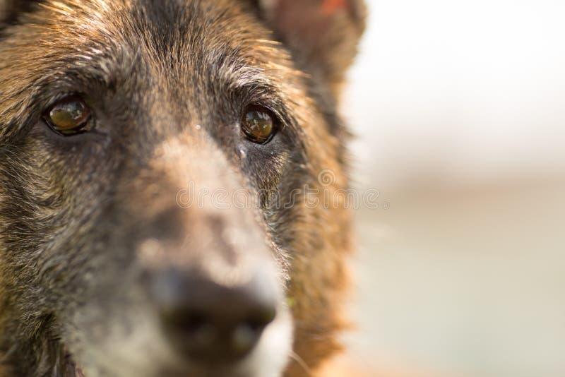 Fim de Dog do pastor alemão acima dos olhos e da cara fotografia de stock