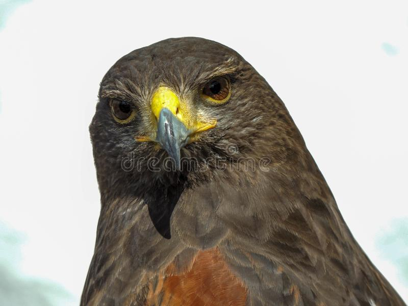 Fim de Eagle que olha acima fotografia de stock royalty free