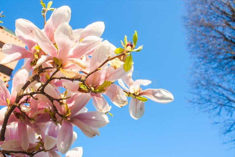 Fim de florescência da flor da magnólia acima, planta colorida e vívida, fundo natural fotos de stock