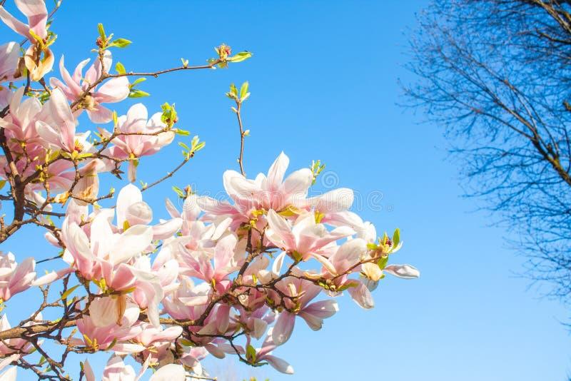 Fim de florescência da flor da magnólia acima, planta colorida e vívida, fundo natural imagens de stock