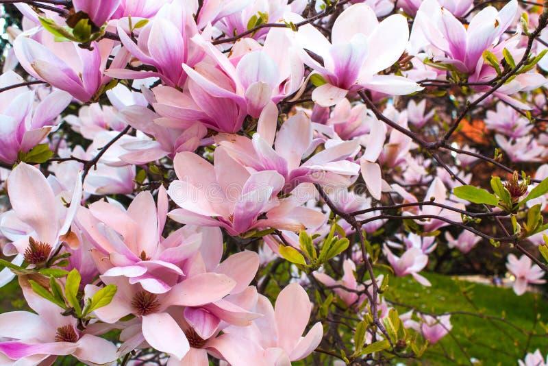 Fim de florescência da flor da magnólia acima, planta colorida e vívida, fundo natural fotos de stock royalty free