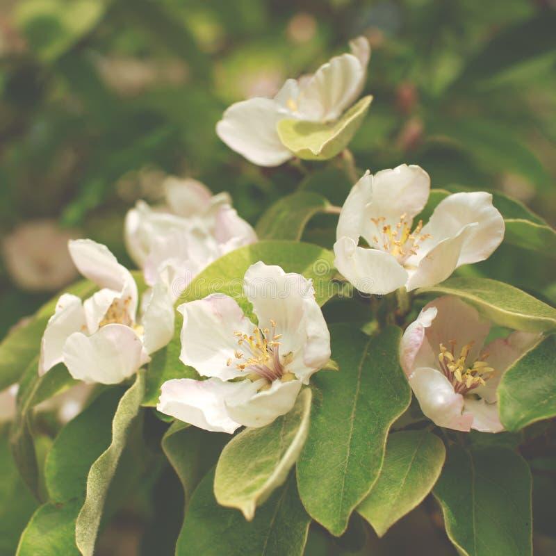 Fim de florescência do ramo do marmelo da maçã acima imagens de stock royalty free