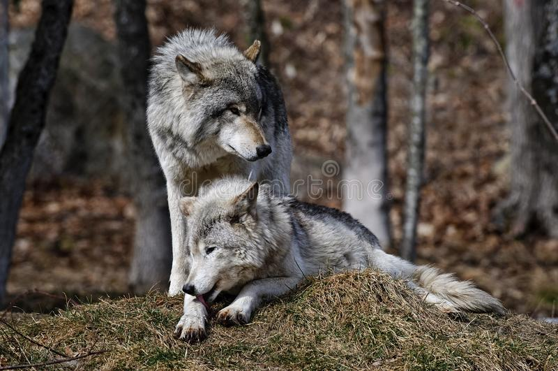 Fim de Gray Wolves Pair junto fotos de stock royalty free