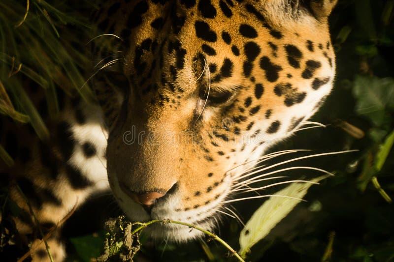 Fim de Jaguar acima fotos de stock royalty free